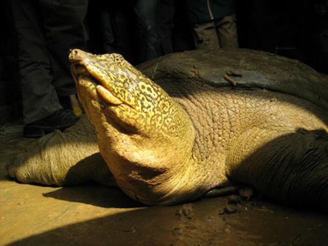 Lập khu bảo tồn loài và sinh cảnh mới cho rùa Hoàn Kiếm - 1