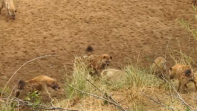 Khoảnh khắc sư tử bị đàn linh cẩu bao vây và màn giải cứu kịp thời - 1