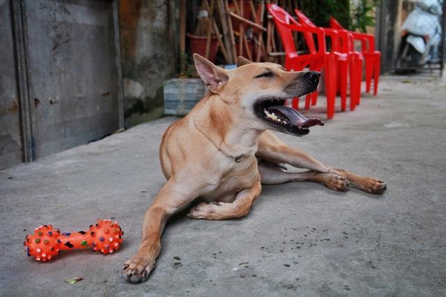 """Chú chó Phú Quốc """"lừng danh"""", trả giá 350 triệu đồng không bán ở Hà Nội - 11"""