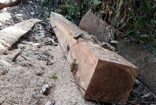 Hàng chục cây gỗ lớn bị đốn hạ ngổn ngang trong rừng tự nhiên - 10