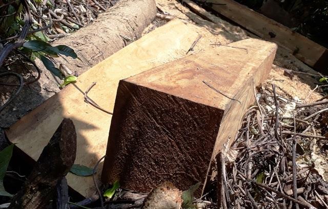 Hàng chục cây gỗ lớn bị đốn hạ ngổn ngang trong rừng tự nhiên - 4