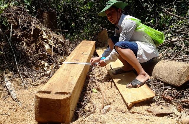 Hàng chục cây gỗ lớn bị đốn hạ ngổn ngang trong rừng tự nhiên - 13