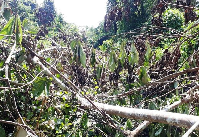 Hàng chục cây gỗ lớn bị đốn hạ ngổn ngang trong rừng tự nhiên - 9