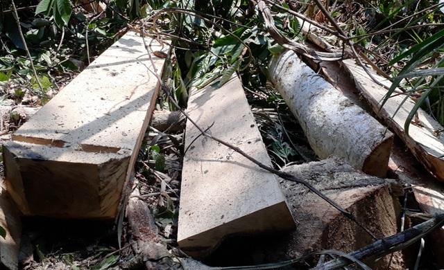 Hàng chục cây gỗ lớn bị đốn hạ ngổn ngang trong rừng tự nhiên - 12