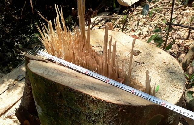 Hàng chục cây gỗ lớn bị đốn hạ ngổn ngang trong rừng tự nhiên - 5