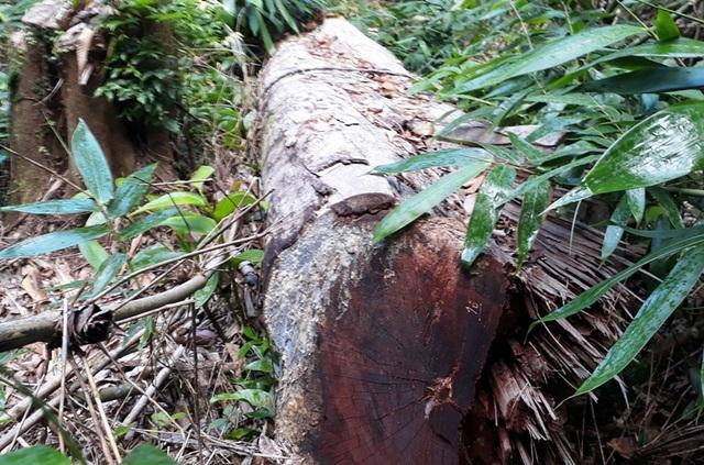 Hàng chục cây gỗ lớn bị đốn hạ ngổn ngang trong rừng tự nhiên - 1