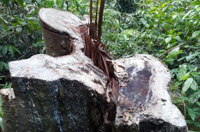 Hàng chục cây gỗ lớn bị đốn hạ ngổn ngang trong rừng tự nhiên - 7