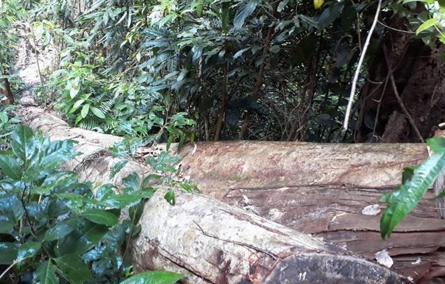 Hàng chục cây gỗ lớn bị đốn hạ ngổn ngang trong rừng tự nhiên - 11