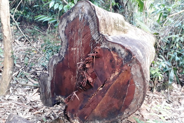 Hàng chục cây gỗ lớn bị đốn hạ ngổn ngang trong rừng tự nhiên - 6