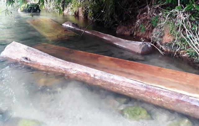 Hàng chục cây gỗ lớn bị đốn hạ ngổn ngang trong rừng tự nhiên - 2