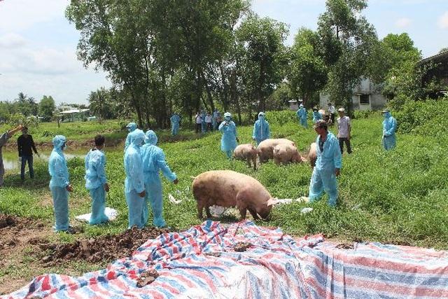 """Dịch tả lợn châu Phi """"tấn công"""" lợn của Trung tâm Giống nông nghiệp Cà Mau - 1"""