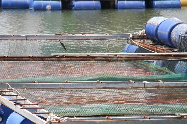 Đà Nẵng: Người dân nuôi cá lồng bè bất chấp lệnh cấm - 2
