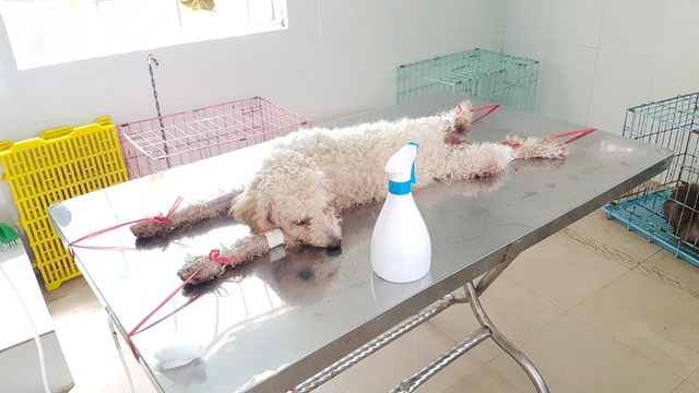 Huế: Tânsinh viên ngành Thú y tò mò xem cách chữa bệnh cho thú cưng - 12