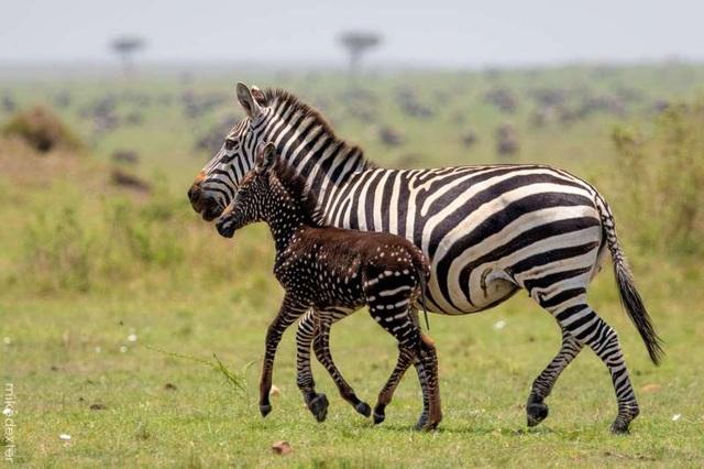 Những bức ảnh kỳ thú về chú ngựa vằn