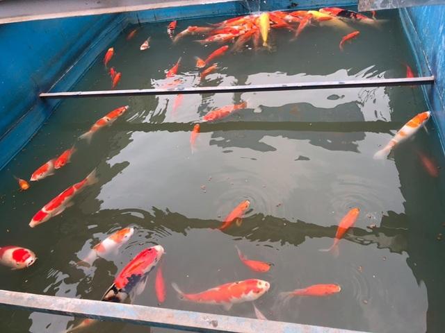 Chuyên gia thủy sản nói gì về việc cá Koi chết ở sông Tô Lịch? - 3