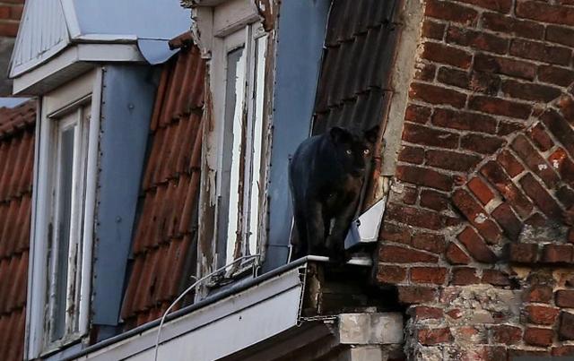 Giật mình báo đen dạo bước trên mái nhà ở Pháp - 1