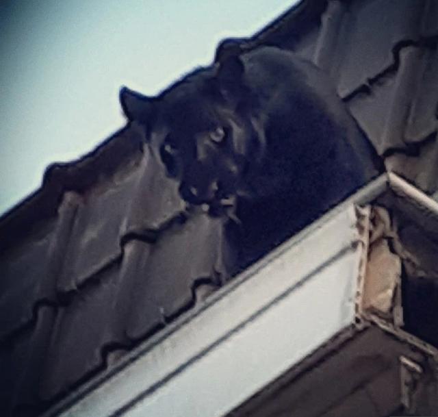 Giật mình báo đen dạo bước trên mái nhà ở Pháp - 2