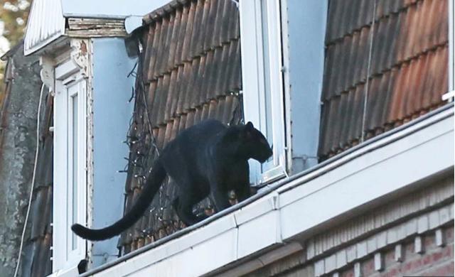 Giật mình báo đen dạo bước trên mái nhà ở Pháp - 3