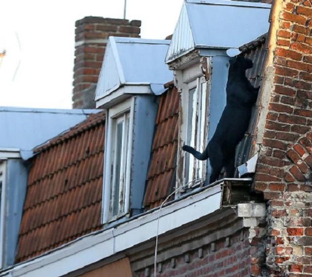 Giật mình báo đen dạo bước trên mái nhà ở Pháp - 5