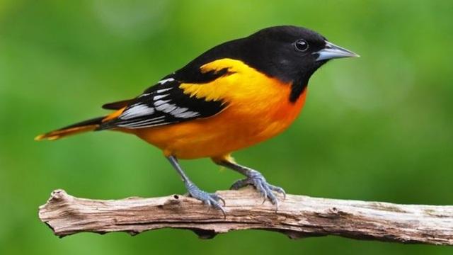 Số lượng chim ở Bắc Mỹ và Châu Á giảm hàng triệu con chỉ trong 50 năm - 1