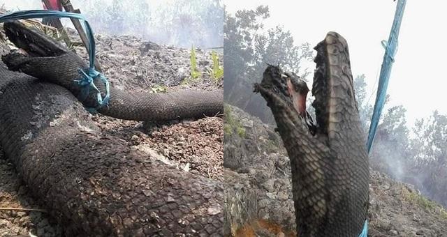 Trăn khổng lồ thiệt mạng trong cháy rừng ở Indonesia - 1