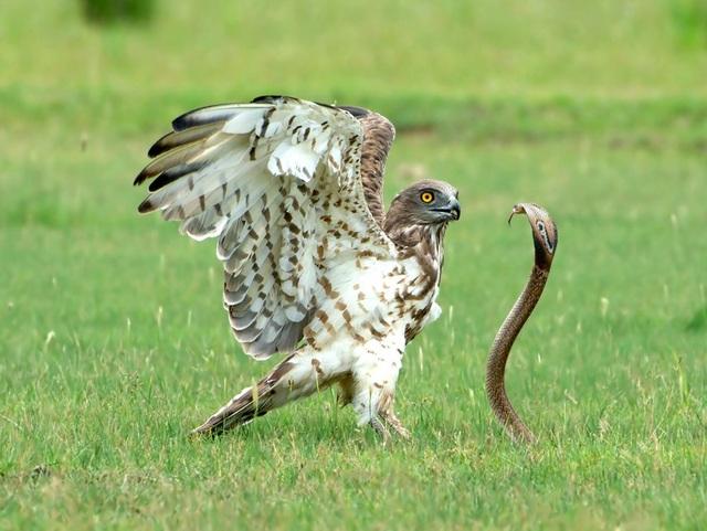 Cuộc chiến sống còn giữa đại bàng và rắn hổ mang - 1