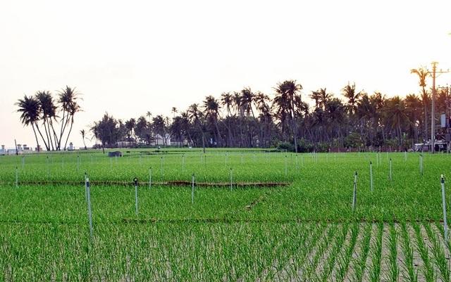 Quảng Ngãi: Sóng ngầm chuyển nhượng đất nông nghiệp ở Lý Sơn - 1