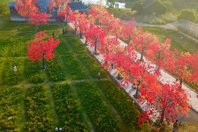 """Giới trẻ Hà Nội nô nức """"check-in"""" ở hàng cây lá phong đỏ đầy lãng mạn - 1"""
