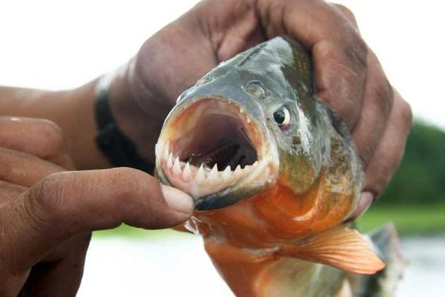 Tốc độ diệt mồi chớp nhoáng của loài cá ăn thịt - 1