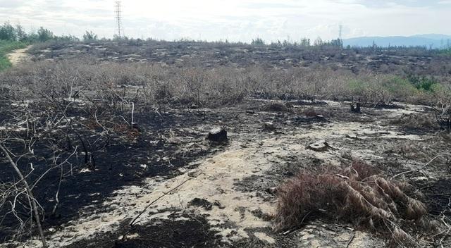 Bình Định: Cả trăm ha rừng dương bao đời che chở cho dân bị… xóa sổ! - 4