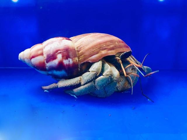 Ốc mà không phải là ốc, không ăn được, giá lên tới 2-3 triệu đồng/con