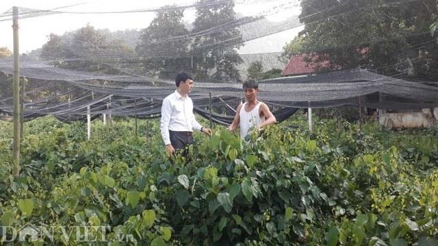 Thái Nguyên: Mang rau dại từ rừng về vườn, bán dễ, kiếm bộn tiền - 1