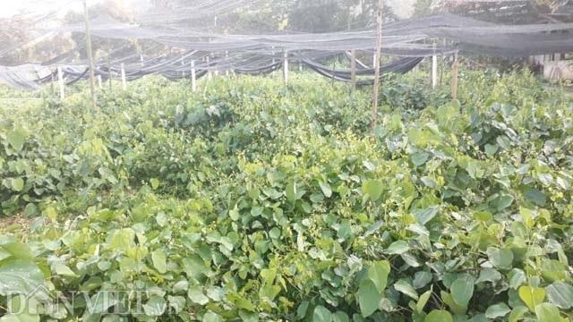 Thái Nguyên: Mang rau dại từ rừng về vườn, bán dễ, kiếm bộn tiền - 3