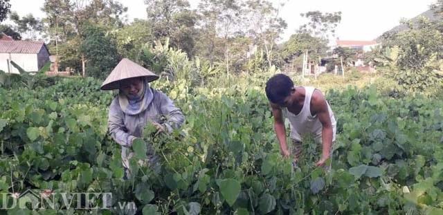 Thái Nguyên: Mang rau dại từ rừng về vườn, bán dễ, kiếm bộn tiền - 4