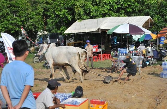 Độc đáo hội đua bò Bảy Núi thu hút hàng nghìn lượt du khách tới cổ vũ  - 11