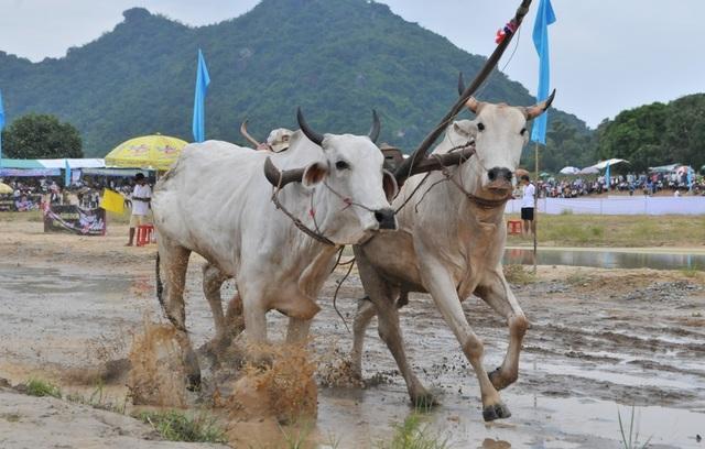 Độc đáo hội đua bò Bảy Núi thu hút hàng nghìn lượt du khách tới cổ vũ  - 13