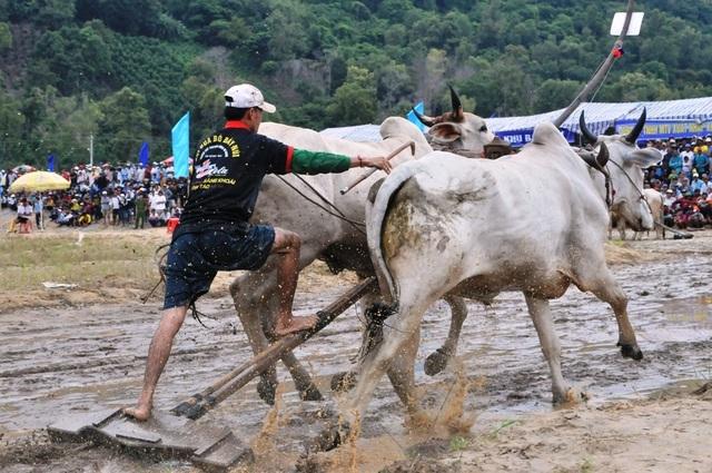 Độc đáo hội đua bò Bảy Núi thu hút hàng nghìn lượt du khách tới cổ vũ  - 8