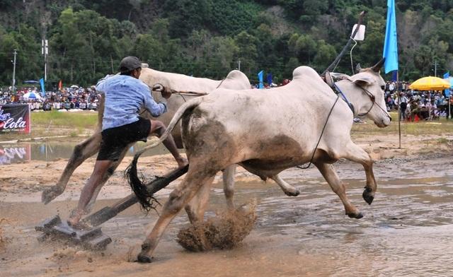 Độc đáo hội đua bò Bảy Núi thu hút hàng nghìn lượt du khách tới cổ vũ  - 15
