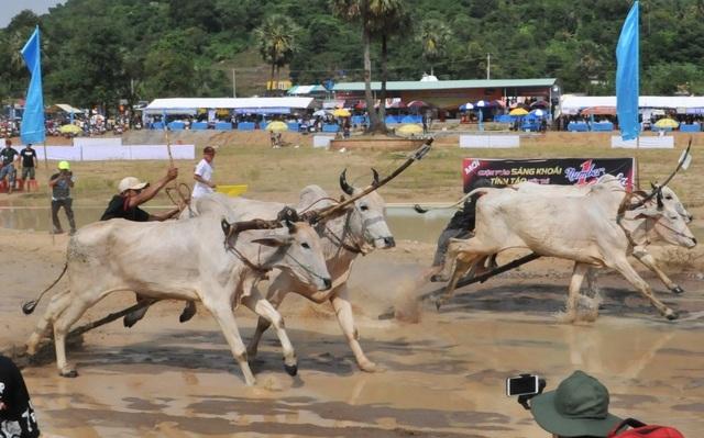 Độc đáo hội đua bò Bảy Núi thu hút hàng nghìn lượt du khách tới cổ vũ  - 2
