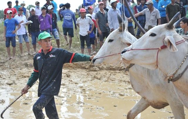 Độc đáo hội đua bò Bảy Núi thu hút hàng nghìn lượt du khách tới cổ vũ  - 5