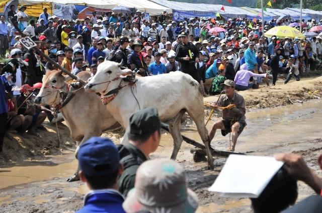 Độc đáo hội đua bò Bảy Núi thu hút hàng nghìn lượt du khách tới cổ vũ  - 14