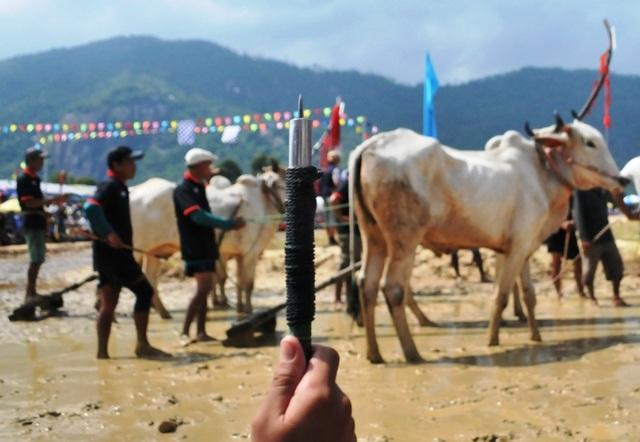 Độc đáo hội đua bò Bảy Núi thu hút hàng nghìn lượt du khách tới cổ vũ  - 18