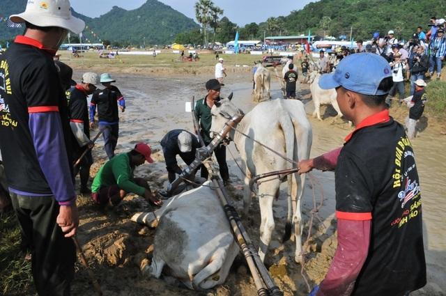 Độc đáo hội đua bò Bảy Núi thu hút hàng nghìn lượt du khách tới cổ vũ  - 10