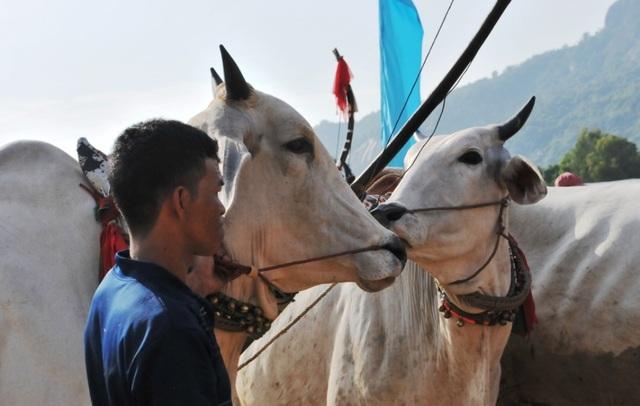 Độc đáo hội đua bò Bảy Núi thu hút hàng nghìn lượt du khách tới cổ vũ  - 4