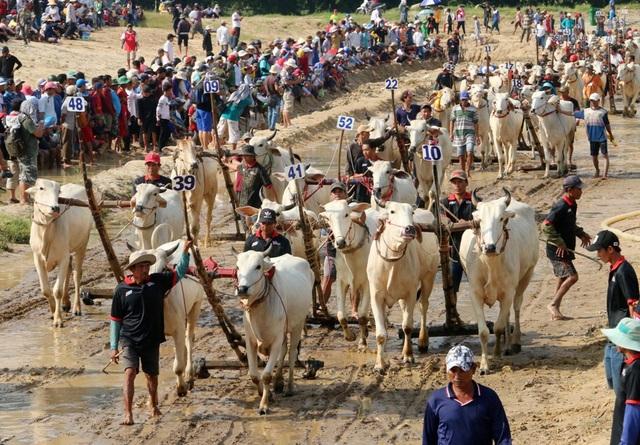 Độc đáo hội đua bò Bảy Núi thu hút hàng nghìn lượt du khách tới cổ vũ  - 1