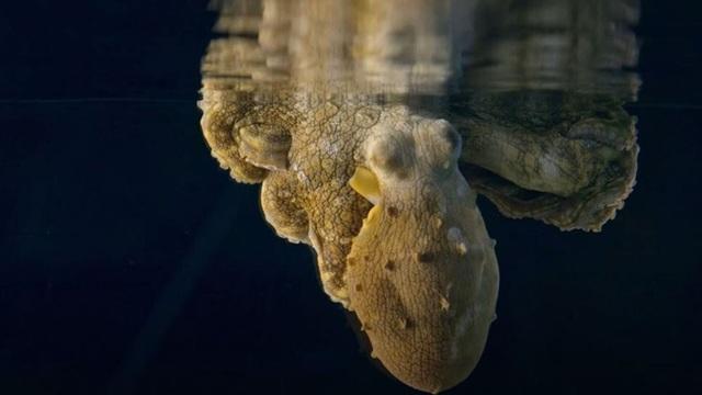 Hình ảnh cực hiếm của bạch tuộc khi… nằm mơ - 1