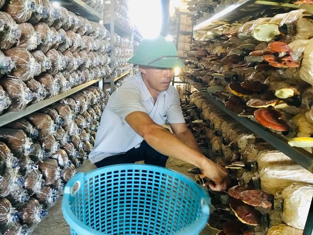 Bỏ dạy nghề về trồng nấm linh chi, mỗi năm thu hơn 1 tỷ đồng - 1