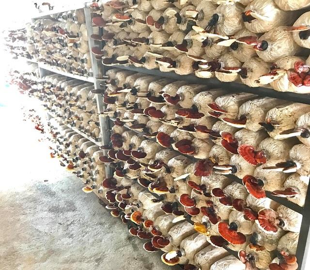 Bỏ dạy nghề về trồng nấm linh chi, mỗi năm thu hơn 1 tỷ đồng - 3