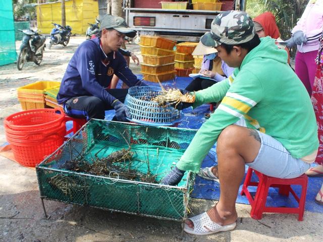 """Phú Yên: Thị trường Trung Quốc """"chê"""" tôm hùm, người nuôi lao đao - 3"""