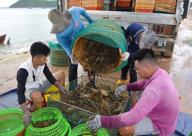 """Phú Yên: Thị trường Trung Quốc """"chê"""" tôm hùm, người nuôi lao đao - 1"""